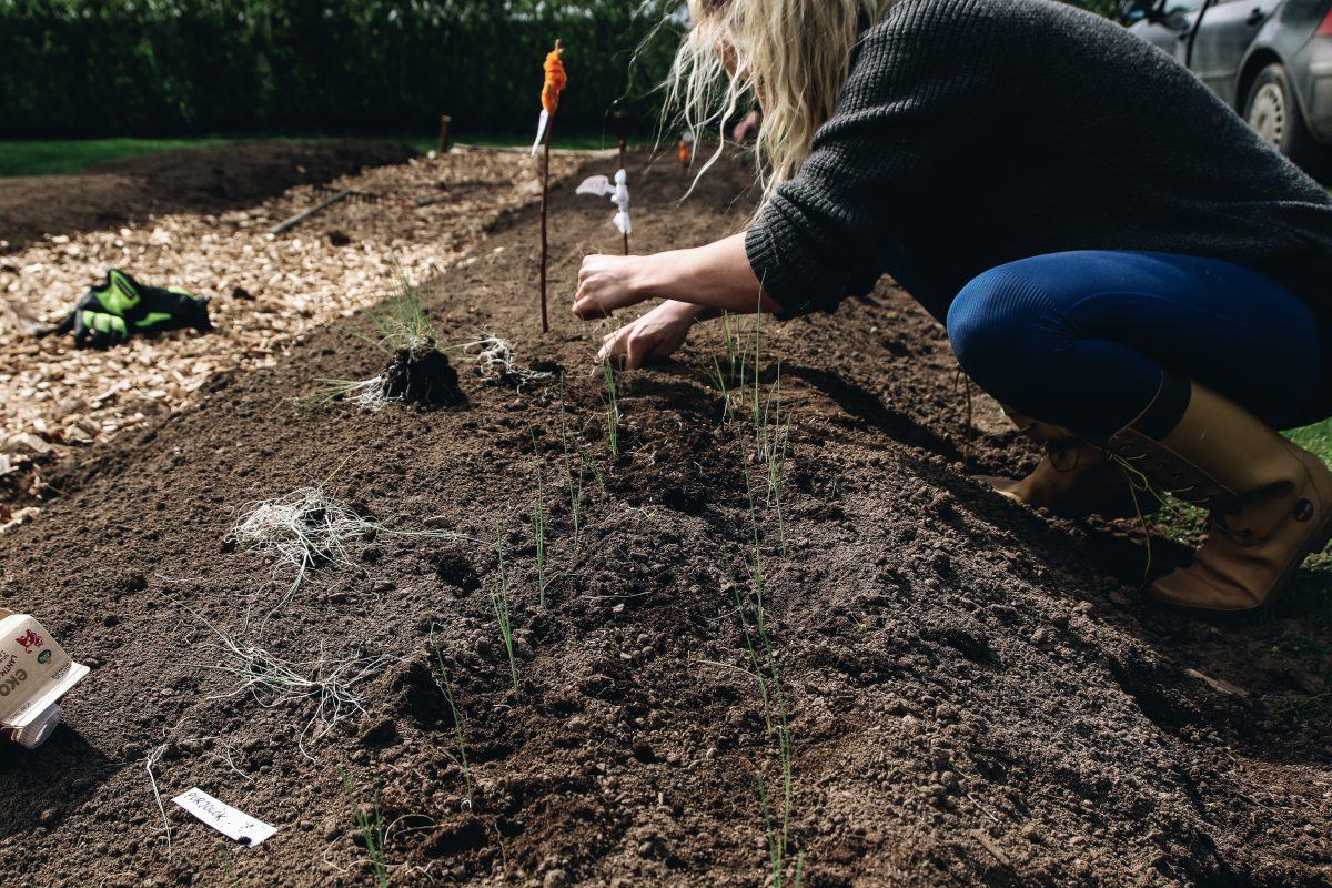 purjolök i odlingsbädd