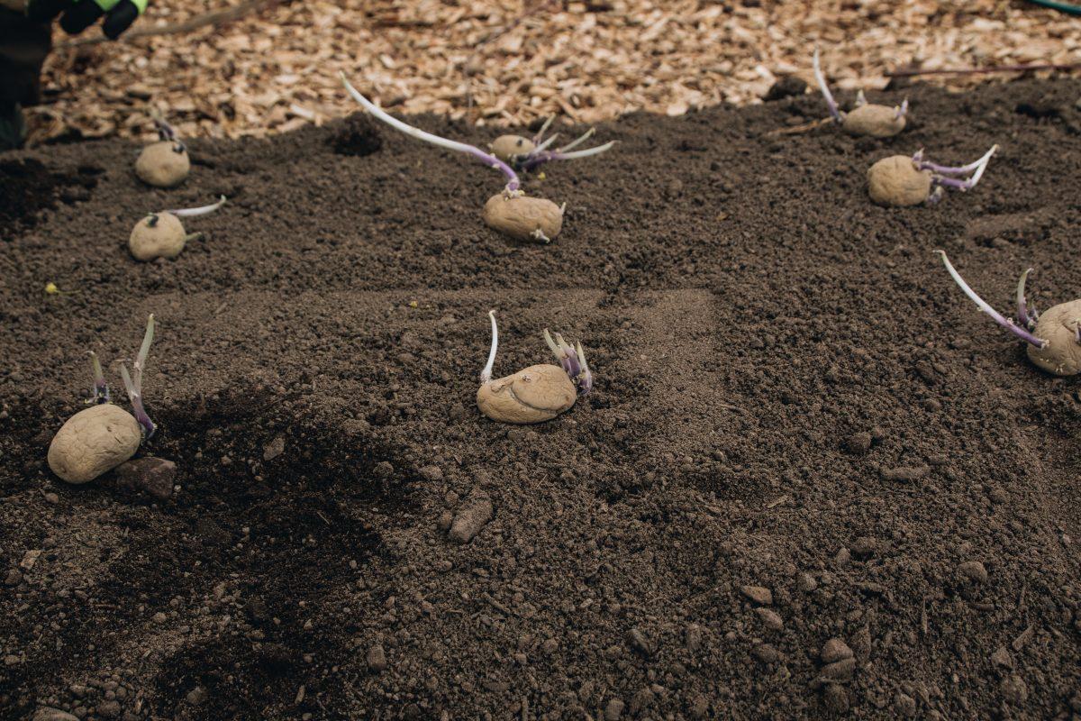 potatis i köksträdgård