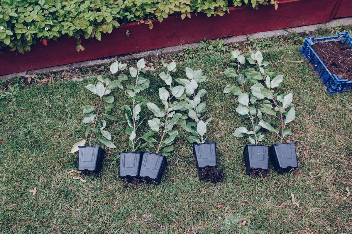 Från 5 till 100 äppelträd