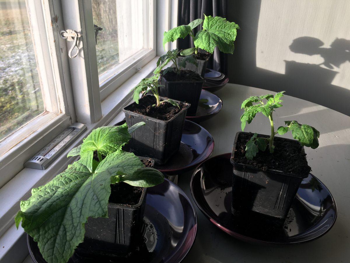 Odla gurka och tomat inomhus på vintern